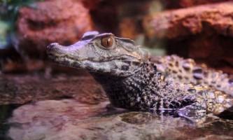 Гладколобий кайман - дрібні крокодили