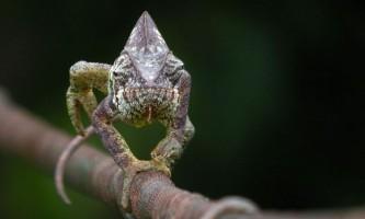 Очі хамелеон здатні рухатися незалежно один від одного