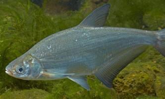 Глазач, або клепец: фото, цікаві факти про рибу
