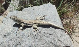 Глазчатая ящірка - азіатська рептилія