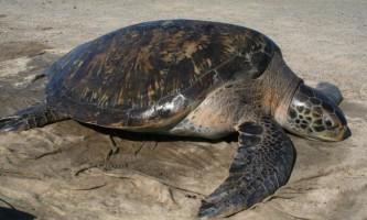 Глобальне потепління зробило супових черепах одностатевими