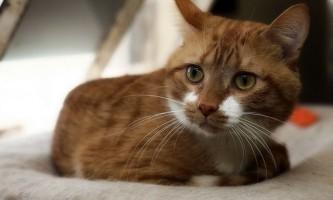 Глобфел-4 для кішок: інструкція із застосування