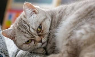 Гломерулонефрит у кішок: симптоми і лікування