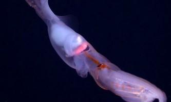 Глибоководний кальмар ловить здобич на живця