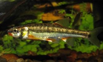Гольян або беладона - риба з яскравим забарвленням