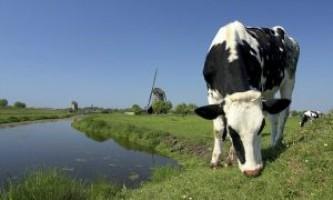 Голландська корова, цікаві факти цієї породи