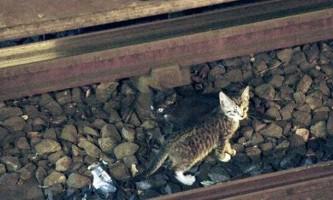 Голландські коти не тільки коня, а й потяг на скаку зупинять