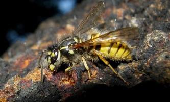 Голодні оси забирають конкуруючих мурах подалі від своєї їжі