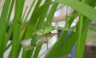 Голодні самки богомола привертають більше самців