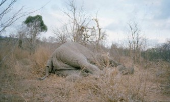 Голодні танзанійці з`їли мертвого слона
