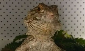 Голодний бородатий дракон став зіркою youtube
