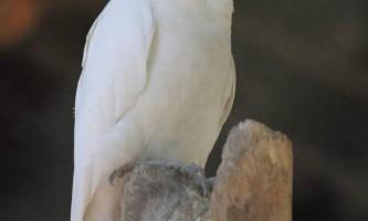 Гологлаз какаду - некріклівой папуга