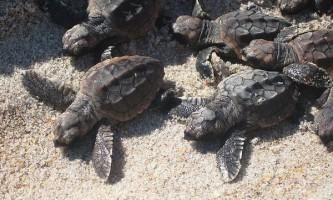 Головаста морська черепаха досягає зрілості до 45 років