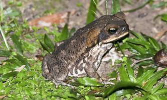 Пуголовки жаби-аги поїдають яйця `` чужого клану ``