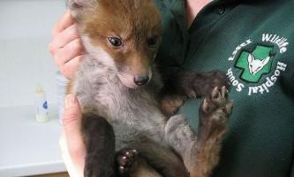 Головоломка: лисиця в лісі