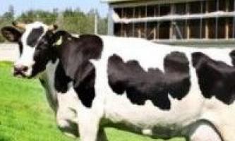 Голштинська порода корів