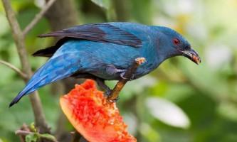 Блакитна ирена - мабуть, та сама «синій птах» з пісні