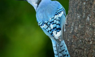 Блакитна сойка - пташка з синім чубчиком
