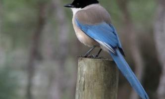 Блакитна сорока