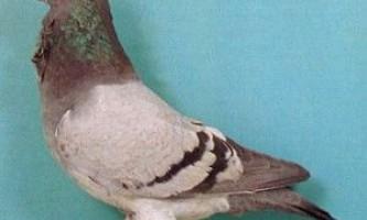 Голуби англійська сова