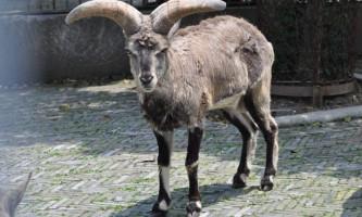 Блакитний баран - опис, фото і відео тваринного