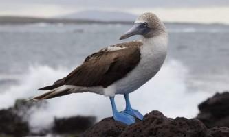 Блакитноногі олуша - птах під охороною закону