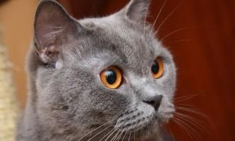 Блакитні британські кішки