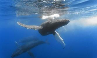 Горбач (горбатий кит)