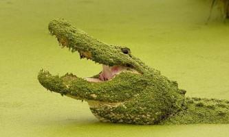 Горбатий кайман був помічений в бразилии місцевими жителями