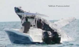 Горбатий кит зіткнувся з човном, мало не перекинувши її