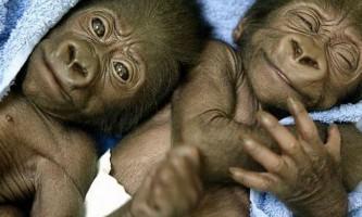Горила народила близнюків