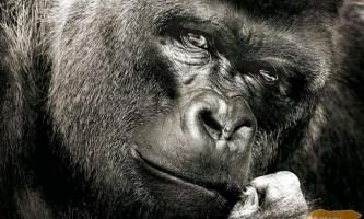 Горила - найбільша мавпа на землі