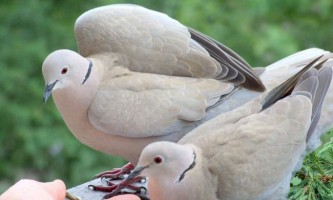 Горлиця - всім відомий голуб