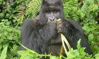 Гірські горили користуються особливою дієтою, щоб не ожиріти