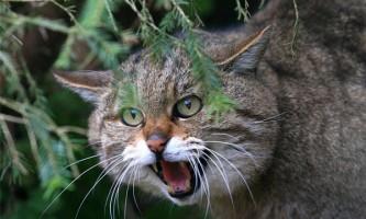 Гірські кішки
