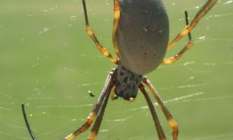 Міські павуки виявилися більшими сільських