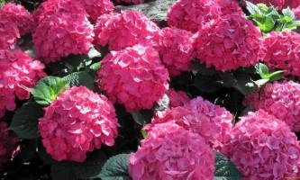 Гортензія садова: фото
