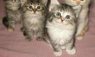 Графік щеплень (вакцинації) для кішок - коли, від якого захворювання і як часто
