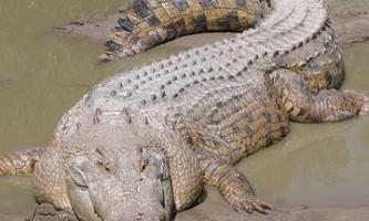 Гребенястий крокодил відмовився катати на собі п`яного австралійця