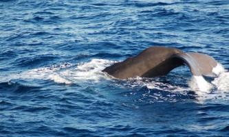 Акула ґренландська, або атлантична полярна акула (лат. Somniosus microcephalus)