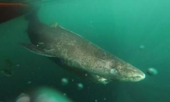 Гренландські акули виявилися найбільш довгоживучими серед хребетних тварин
