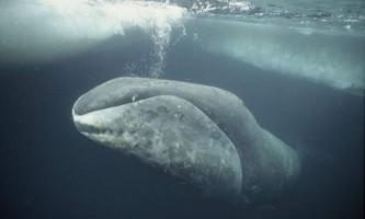 Гренландський кит - мешканець полярних вод