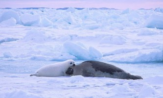 Гренландський тюлень (лисун)