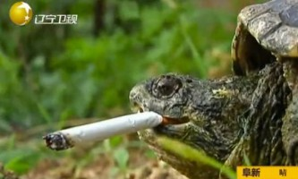 Грифова черепаха з китаю викурює по десять сигарет в день
