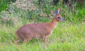 Грісбок - маленька антилопа з південної африки