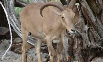 Гривистий баран - дикий представник козячих