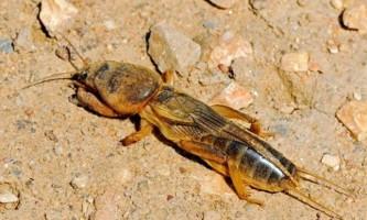 Грозний шкідник рослин - звичайна капустянка