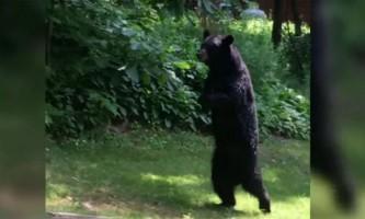Сумного ведмедя на двох лапах приймають за людину