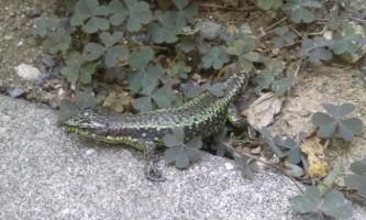 Грузинська ящірка - прудконогий «скелелаз»