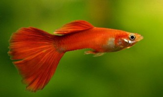Гуппі - рибки, які перемогли малярію
